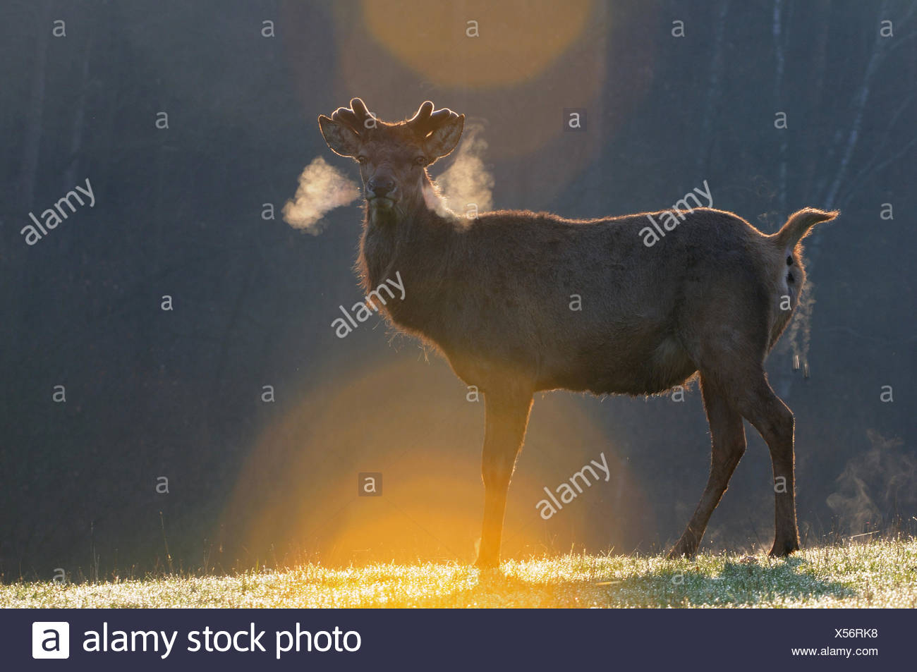 Red deer antlers antler Cervid Cervus elaphus deer stag stags hoofed animals European deer spring velvet animal animals Germ - Stock Image