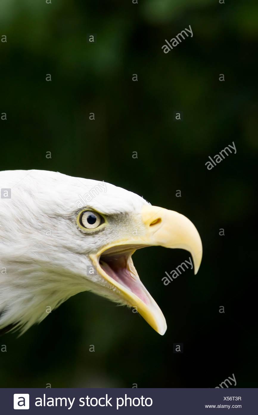 Accipitridae, Bald, Eagle, Haliaeetus, animal, animals, bill, bills, bird, birds, black, close, close-up, close-ups, closeup, cl - Stock Image