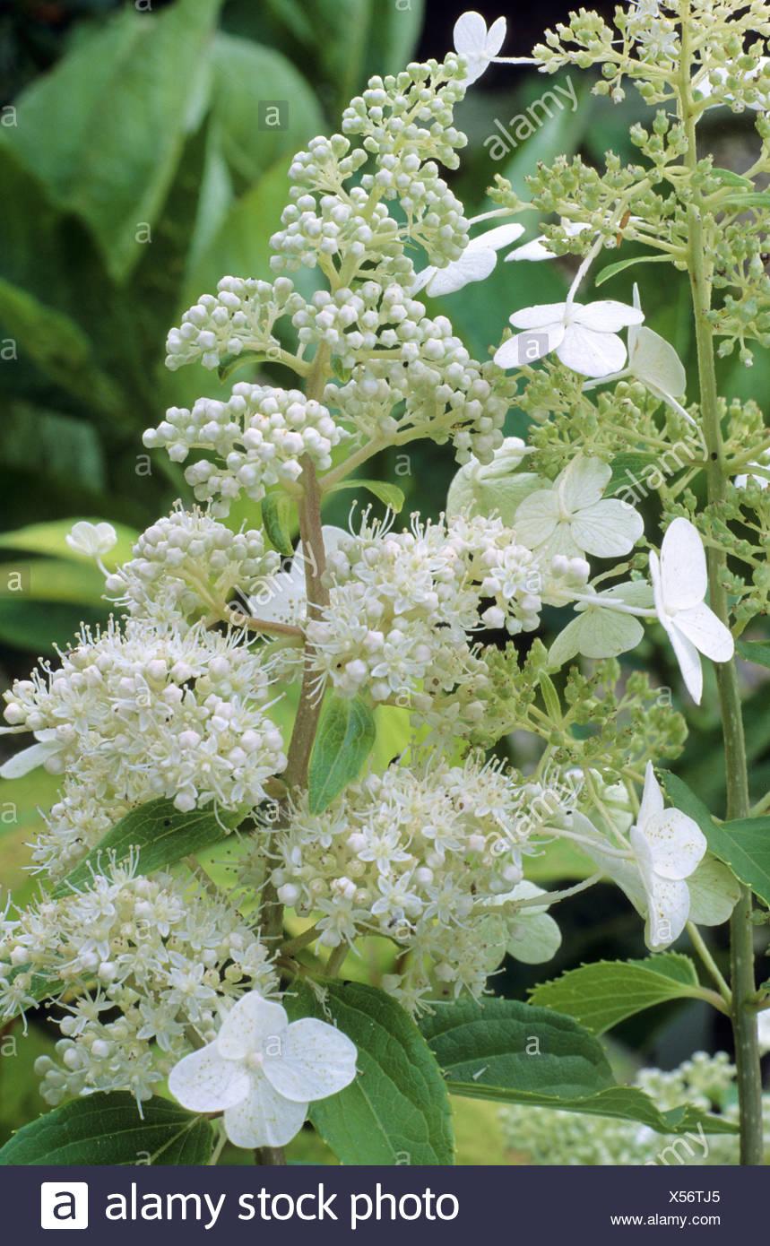 Hydrangea paniculata kyushu white flowers hydrangeas stock photo hydrangea paniculata kyushu white flowers hydrangeas mightylinksfo