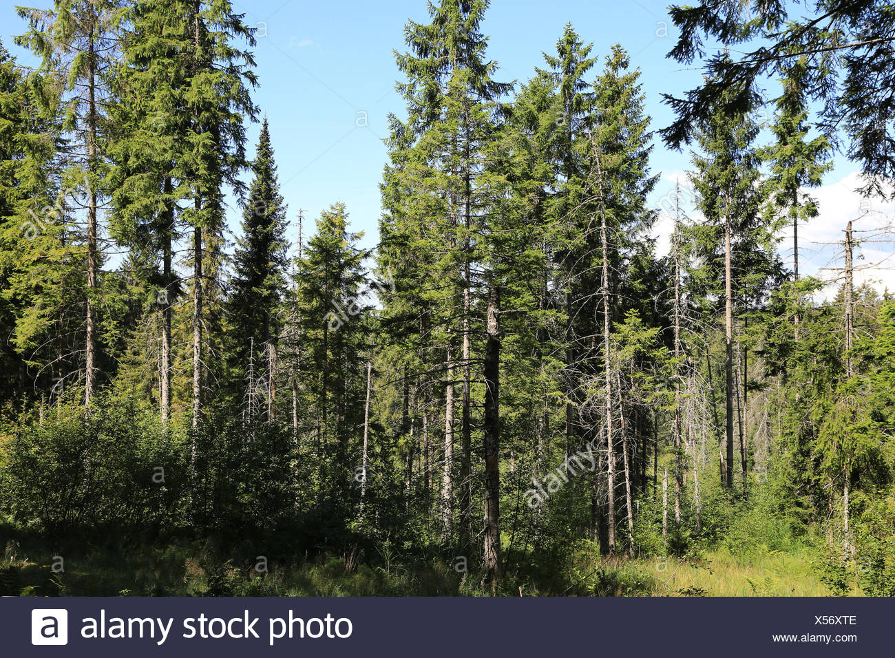 Fir trees and spruces in the Black Forest - Stock Image
