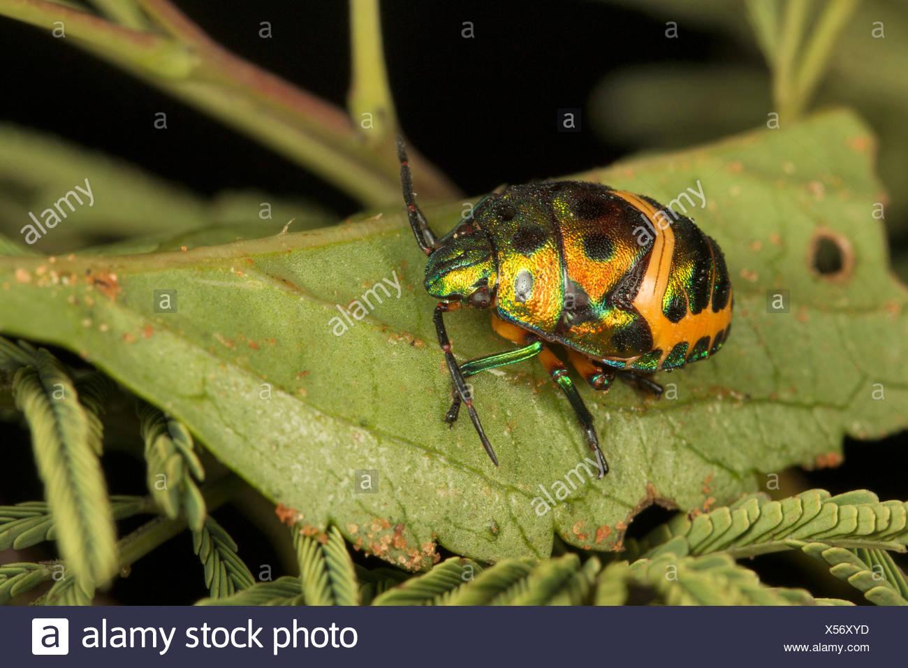 Jewel bug, Scutelleridae, Bangalore, Karnataka, India - Stock Image