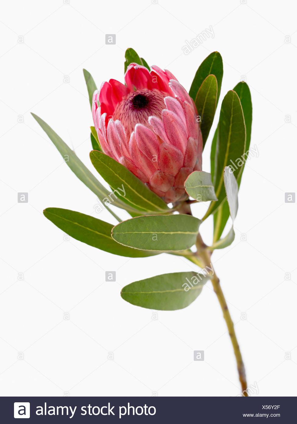Protea Neriifolia X Susannae Pink Ice Single Flower On Leafy Stem Against A White Background Stock Photo Alamy