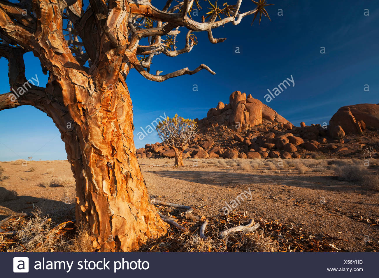 Wide view of Bobbejaankop framed through and ancient quiver tree in warm morning light. Richtersveld National Park, South Africa - Stock Image