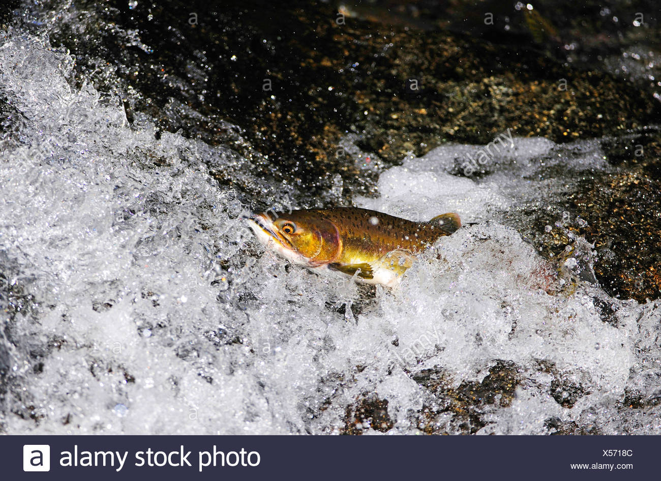 Pacific salmon (Oncorhynchus spec.), overcoming a waterfall, USA, Alaska, Denali Nationalpark - Stock Image