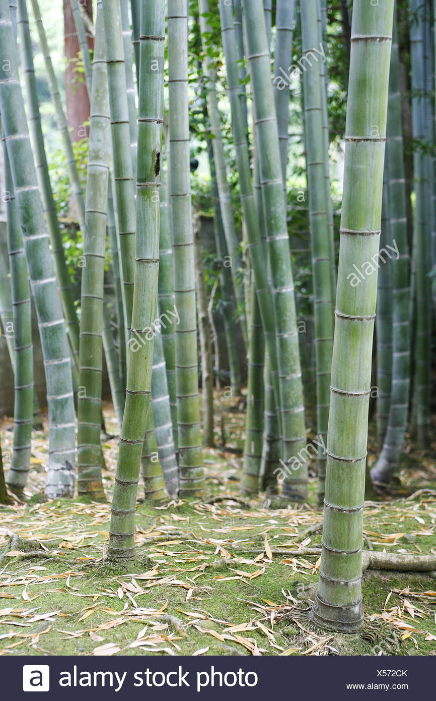 JAPON, KYOTO, Bamboo forest - Stock Image