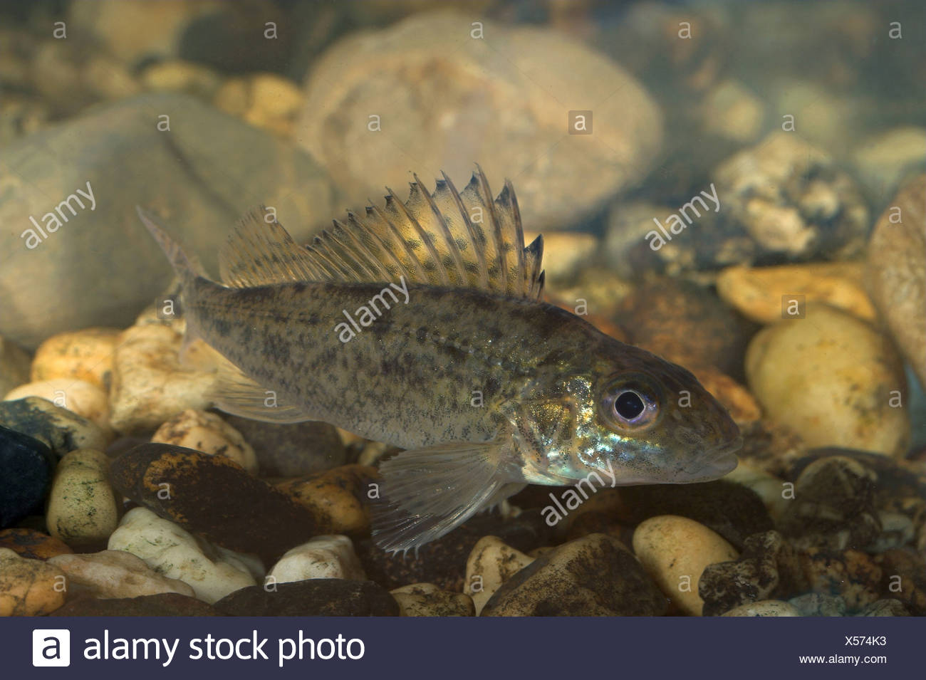 Ruffe, photographed in an aquarium - Stock Image