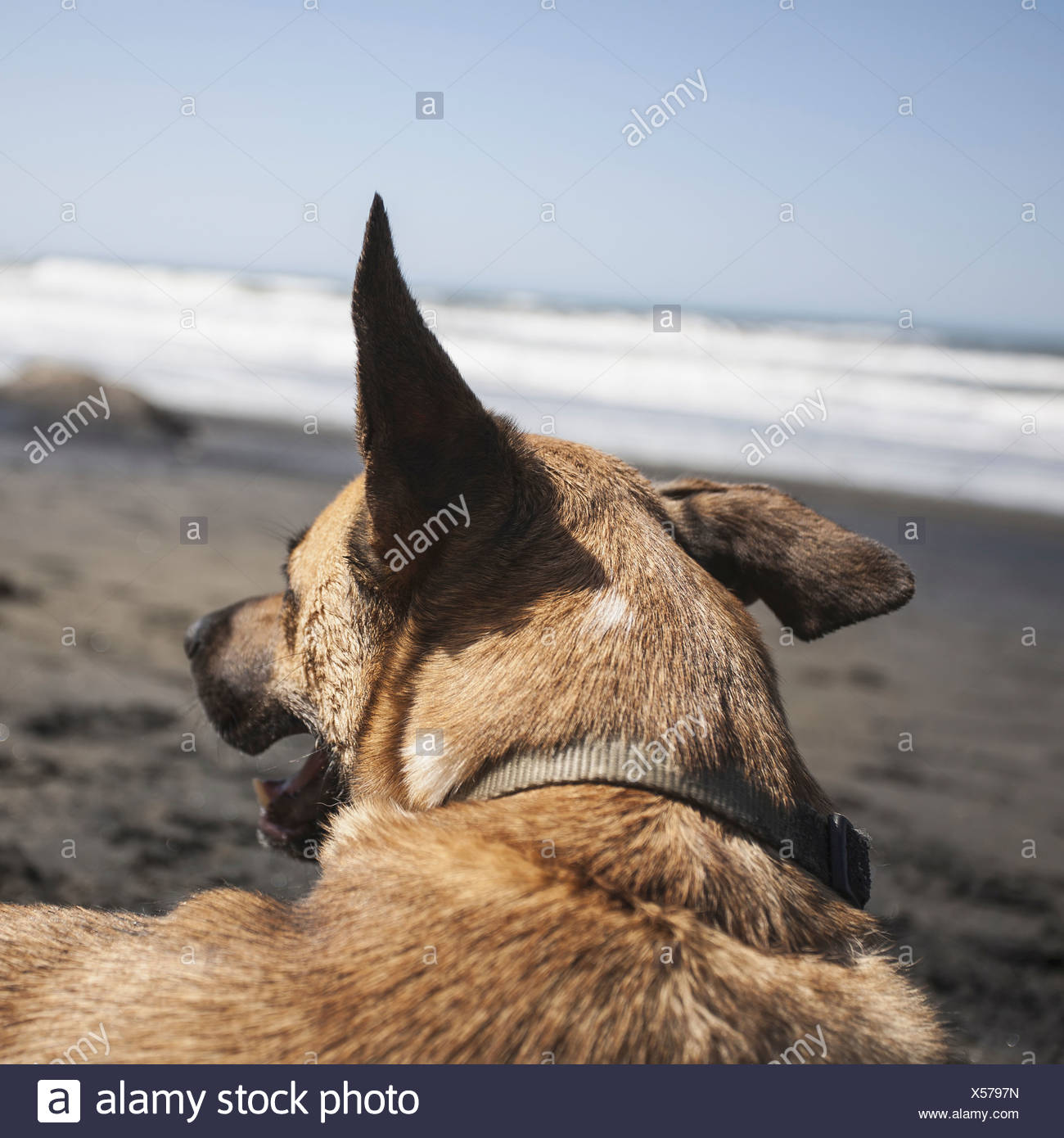 A mixed breed dog on the beach in Discovery Park Seattle - Stock Image