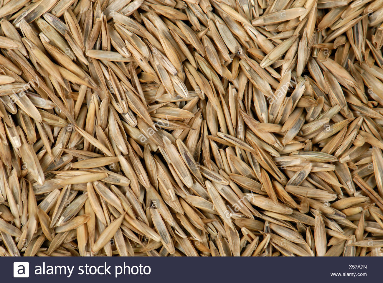 Lawn grass seed including ryegrass Lolium sp - Stock Image