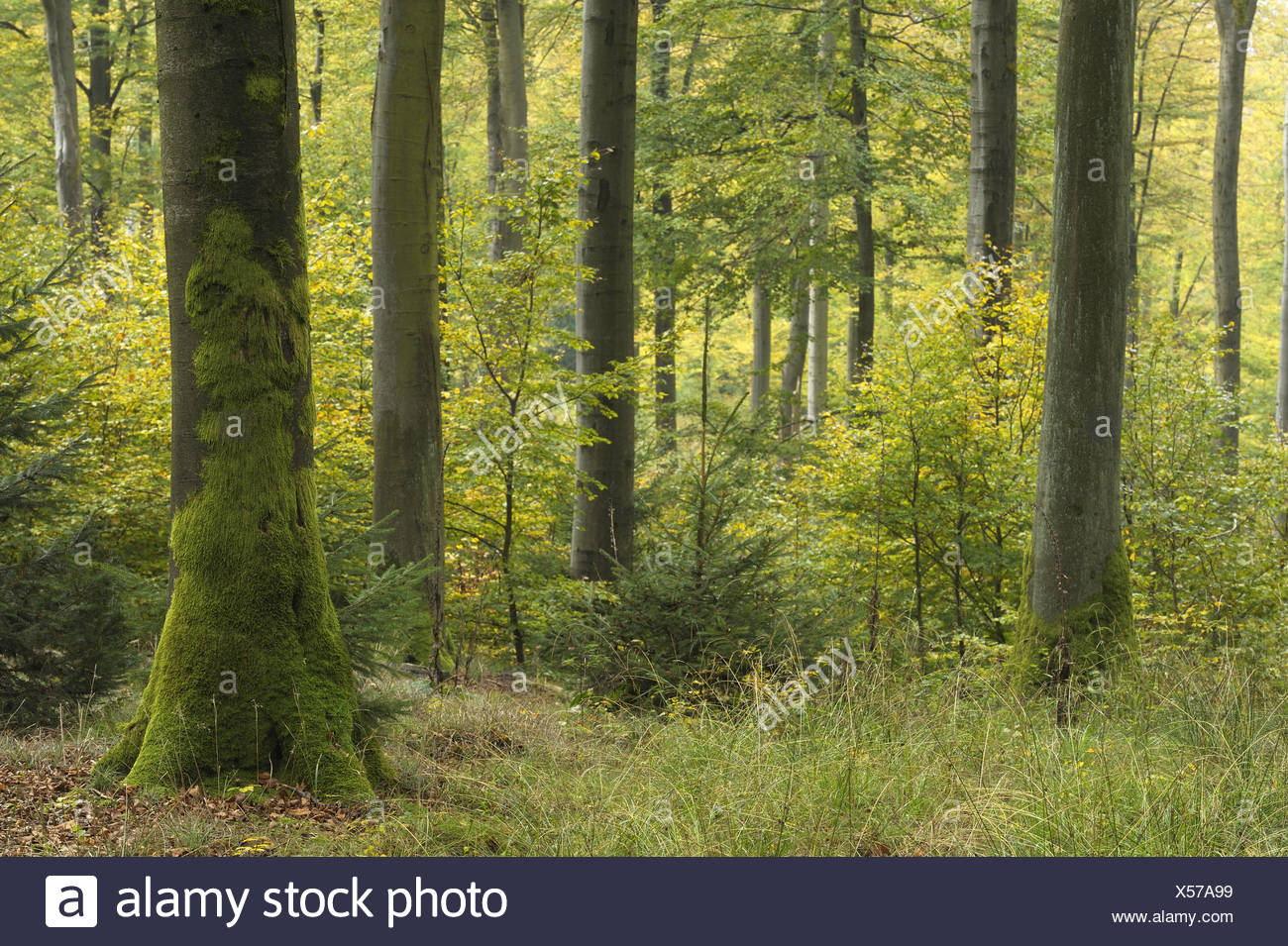 Beech forest in autumn, Spessart, Germany Stock Photo