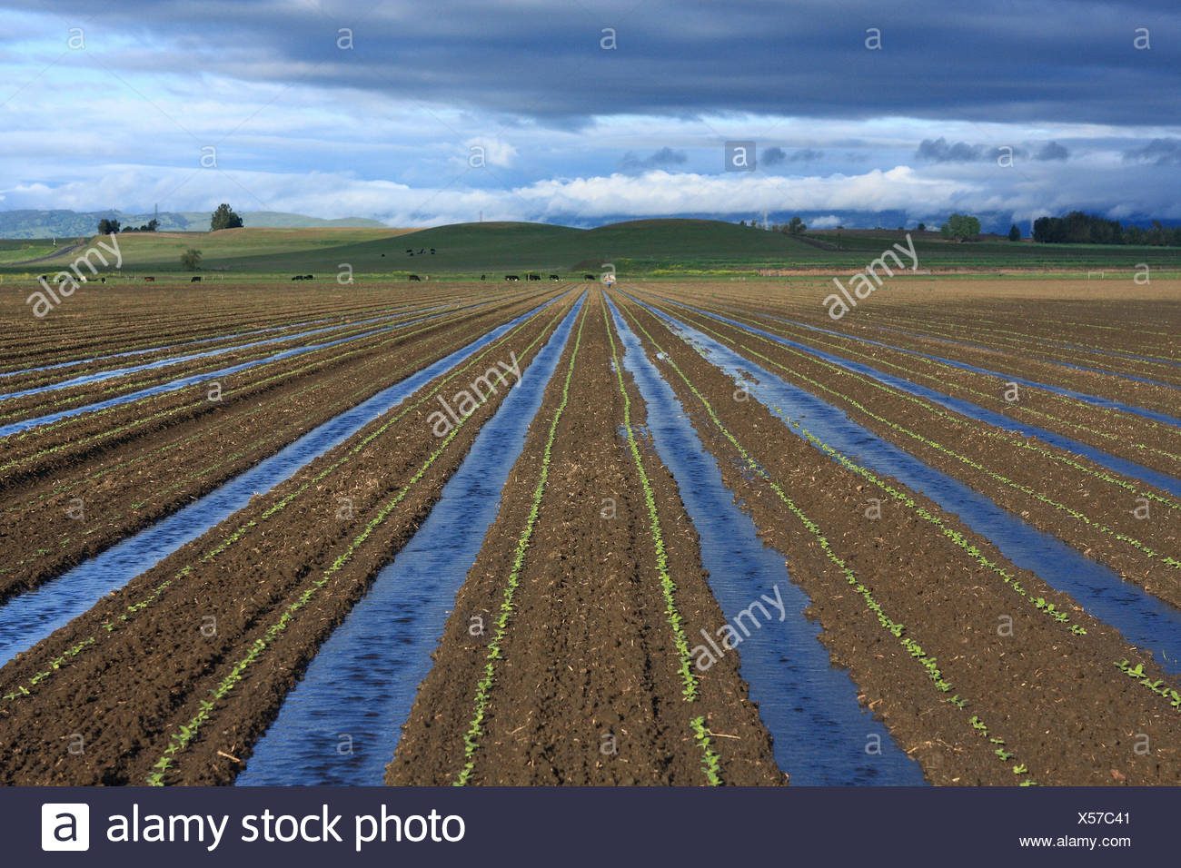 Agriculture - Field of seedling sunflower plants being furrow irrigated / California, USA. - Stock Image