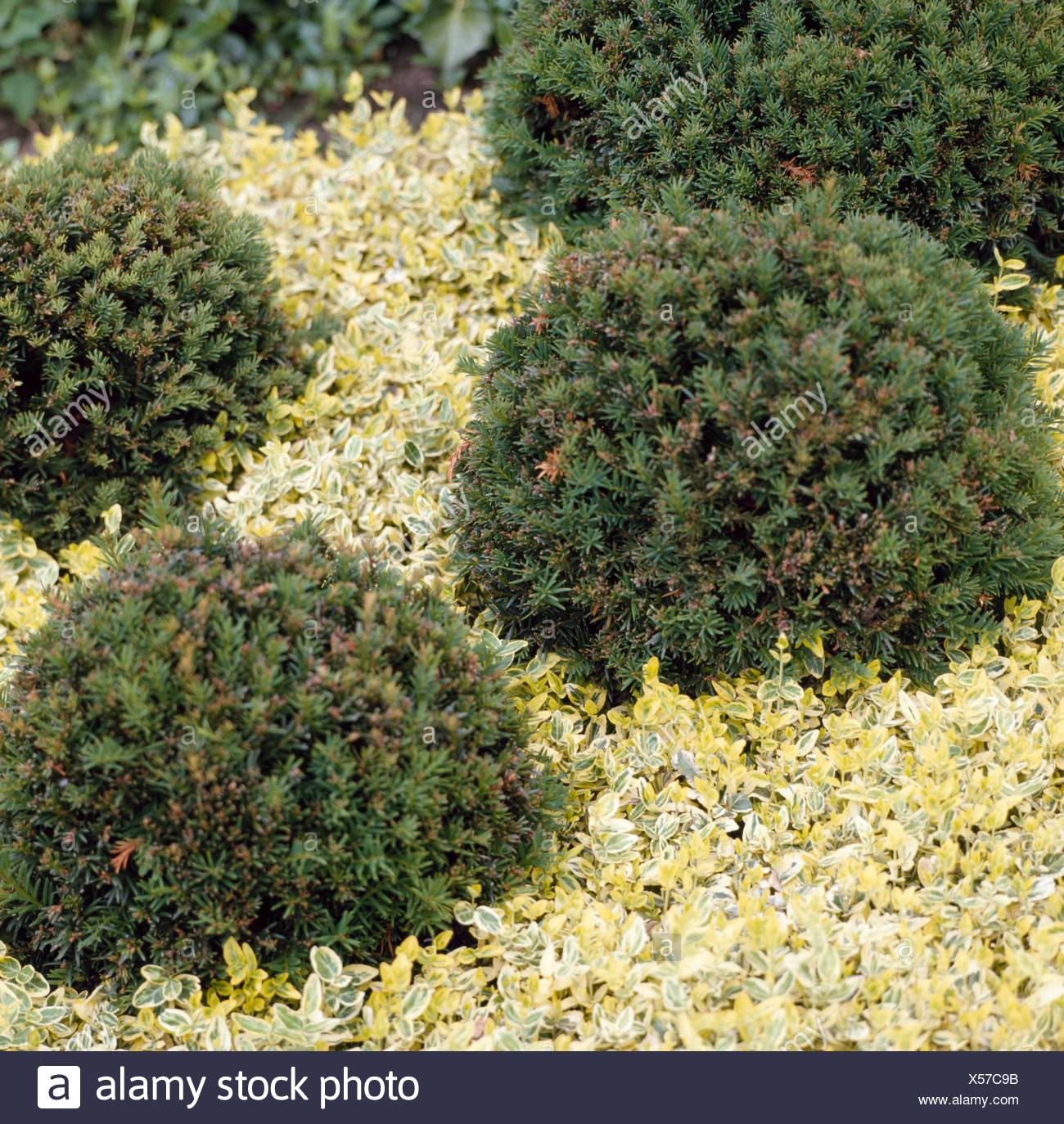 Taxus x media - `Hillii' with Euonymus fortunei `Emerald `n' Gold' (Photographer: MJK)   CON072398 - Stock Image