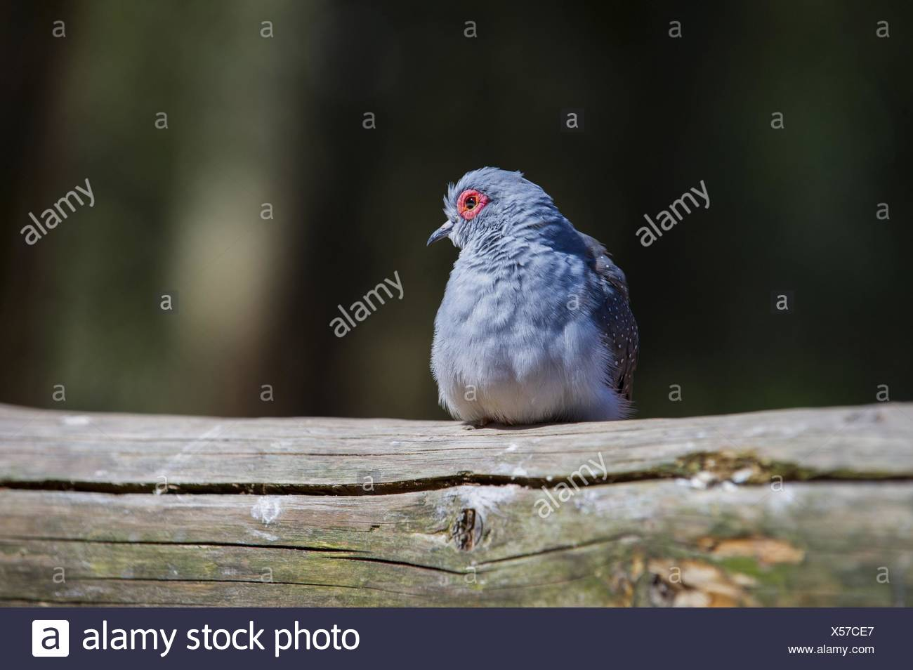 diamond dove Bird Park Marlow - Stock Image