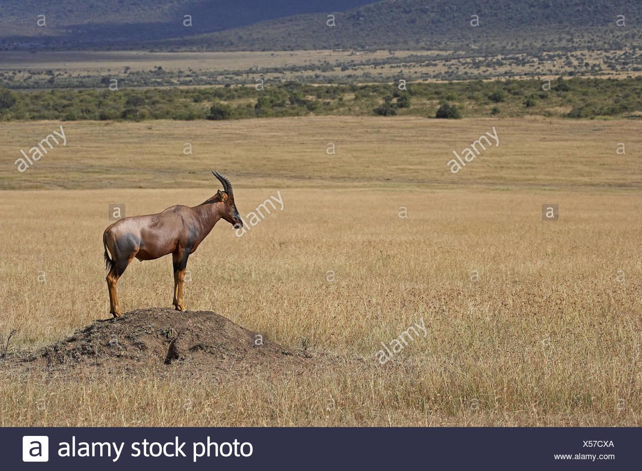 Lyre antelope, Damaliscus korrigum, adult animal, stand, termite hill, Masai Mara Park, Kenya, - Stock Image
