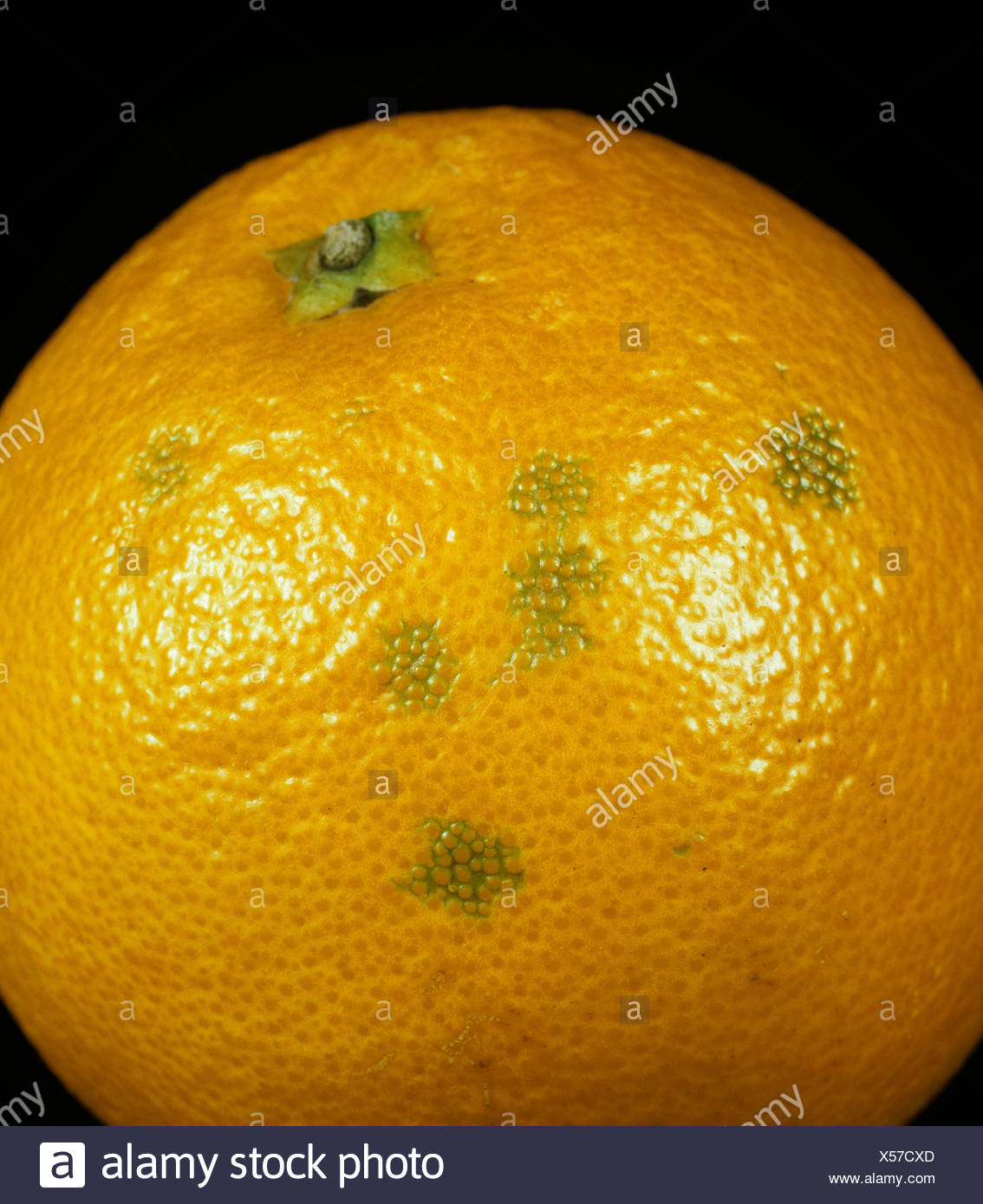 A rind disorder causing a blemish on orange peel - oleocellosis - Stock Image