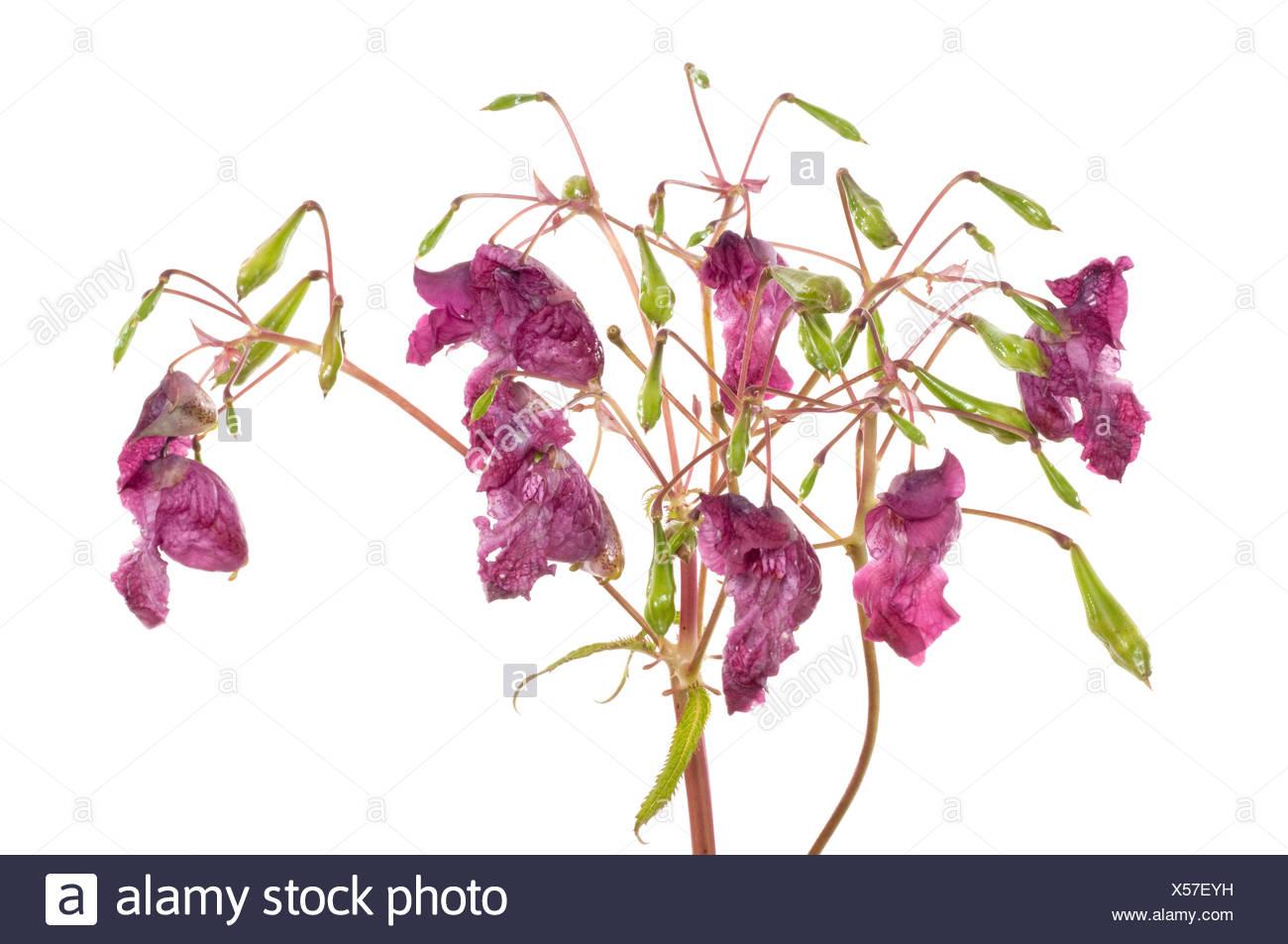 Indisches Springkraut / Himalayan Balsam Stock Photo