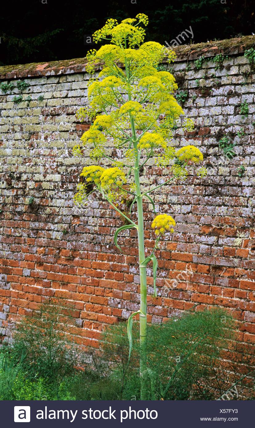 Ferrula Communis, Giant Fennel Yellow Flower Flowers Tall Garden Plant  Plants