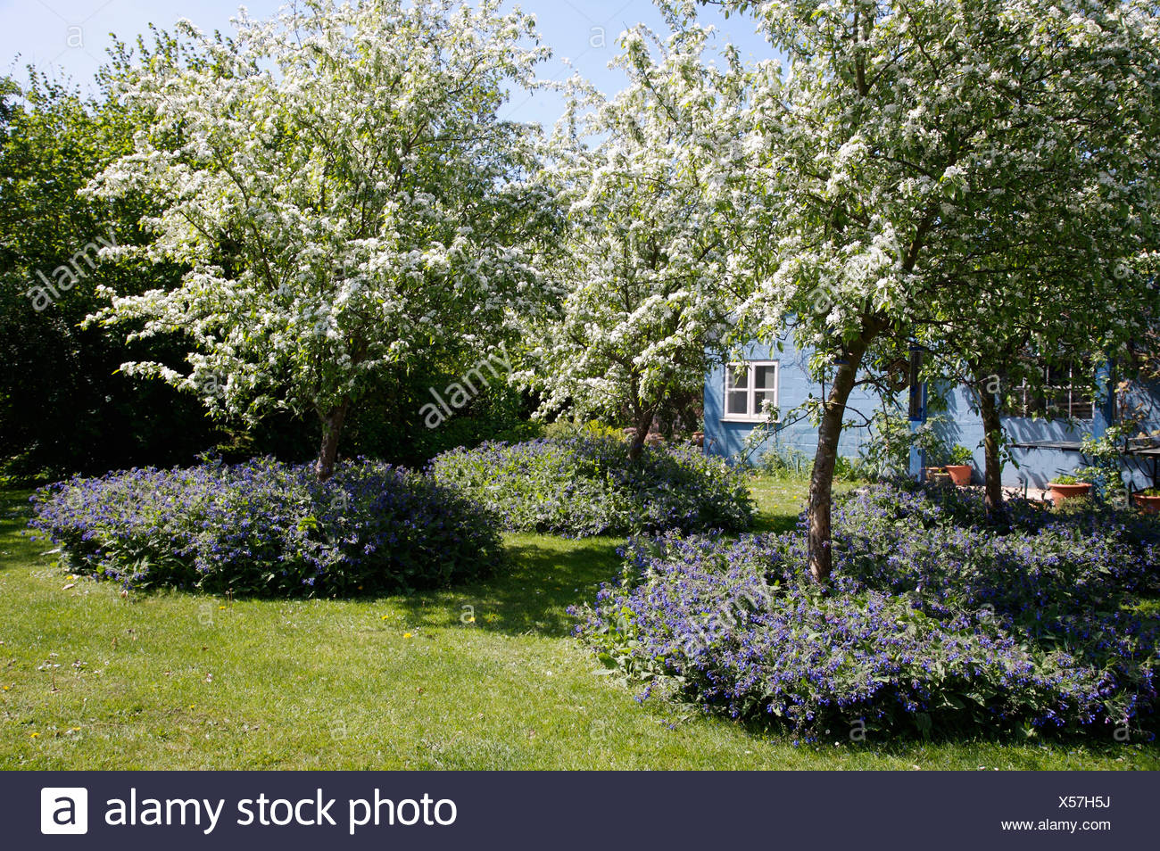 Fruit trees with white blossom in small orchard under planted with fruit trees with white blossom in small orchard under planted with blue flowering perennials izmirmasajfo