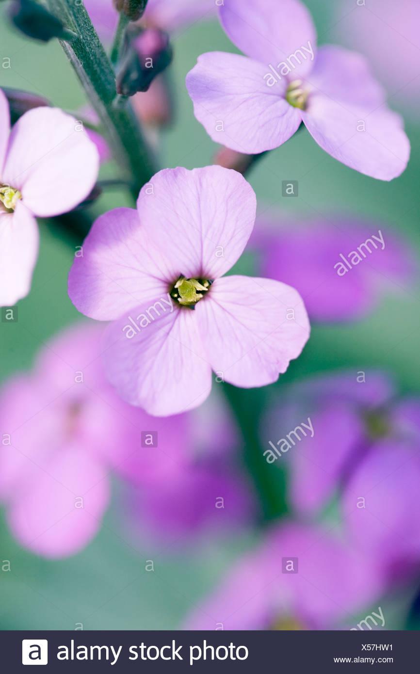 Close up shot of mauve Wallflowers - Stock Image