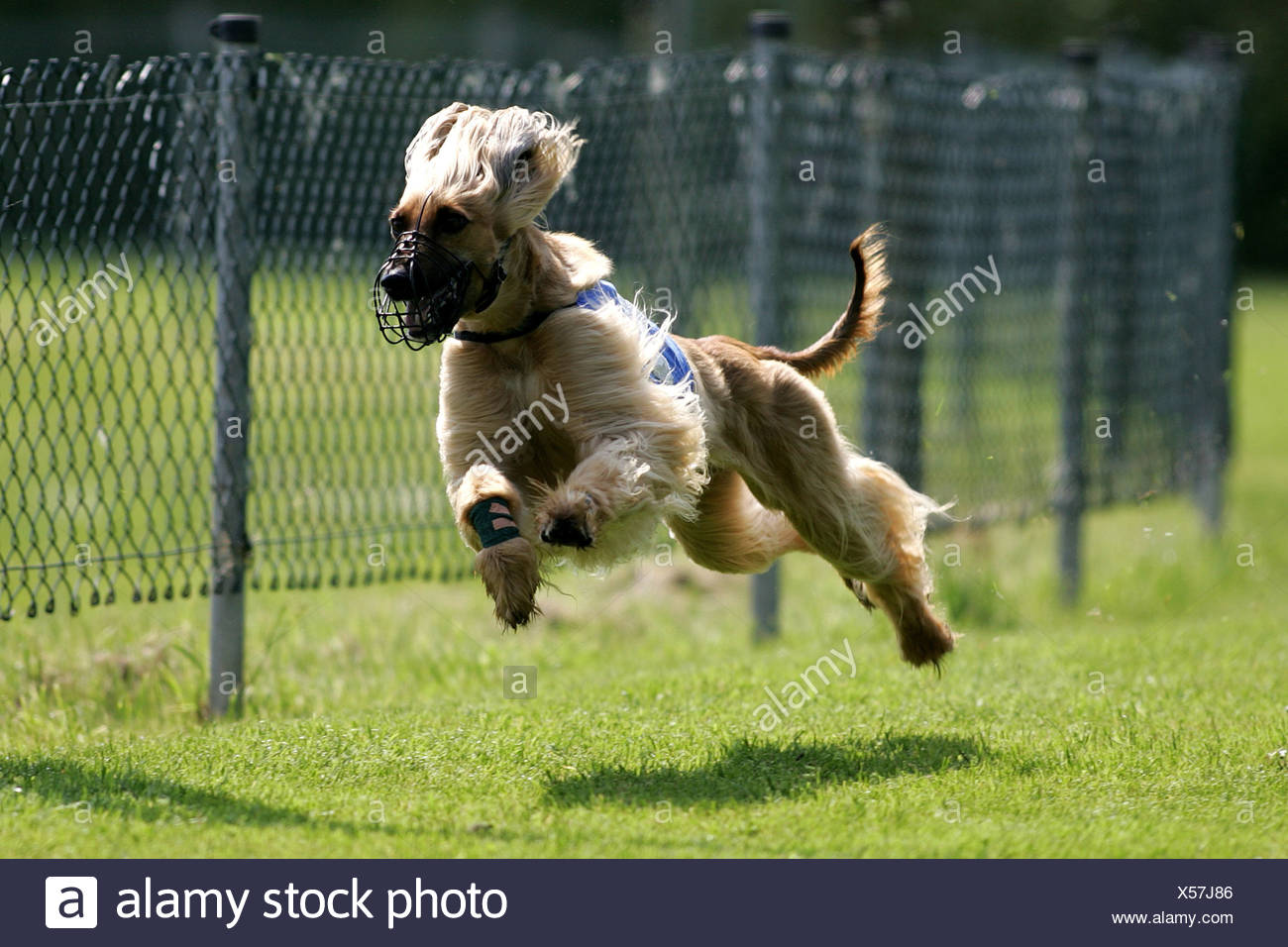 Afghanistan Hound, Afghan Hound (Canis lupus f. familiaris), at race, Germany Stock Photo
