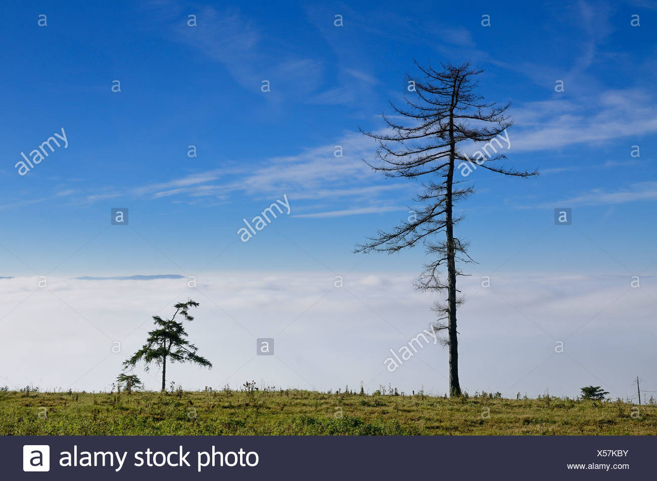Two ragged pines against the blue sky, hiking trail on Hocheck Mountain, Triestingtal, Lower Austria, Austria, Europe - Stock Image