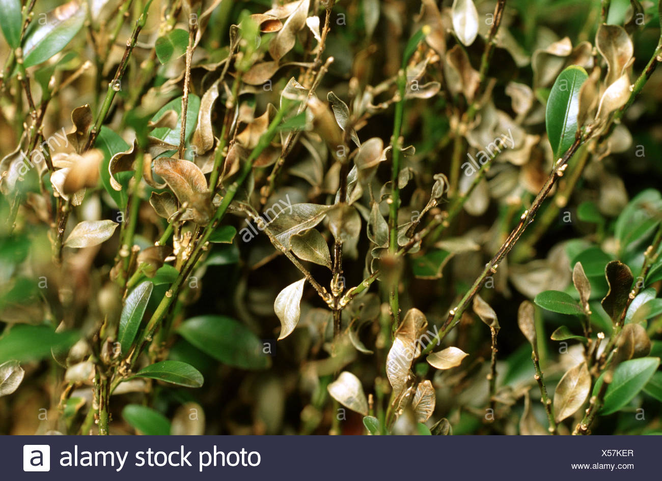 common box, boxwood (Buxus sempervirens), fungal decay, Germany - Stock Image