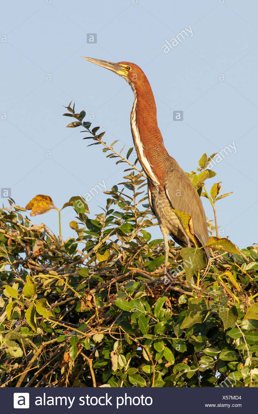 Rufescent Tiger-Heron (Tigrisoma lineatum) perched on a branch in the Pantanal region of Brazil. Stock Photo