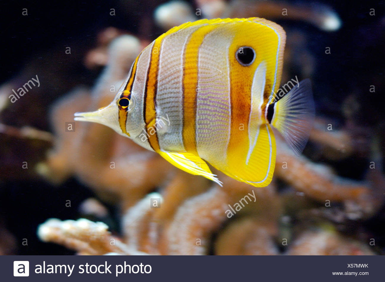 Beaked coralfish Chelmon rostratus Indopacific South Chinese Sea Malaysia, aquarium Berlin Germany - Stock Image