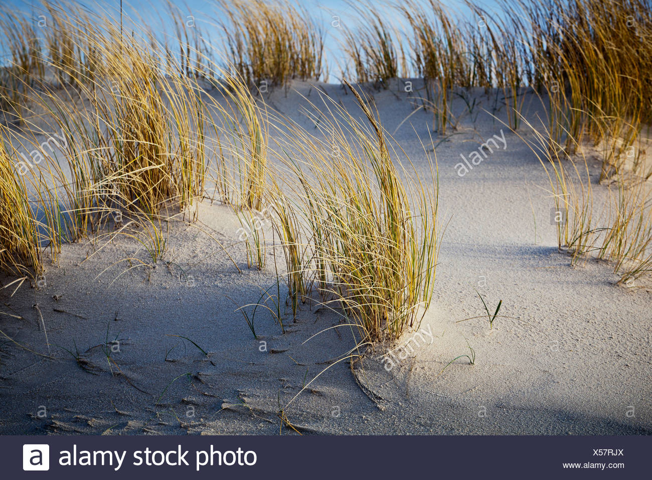 Dune grass, Sylt, Schleswig-Holstein, Germany, Europe - Stock Image