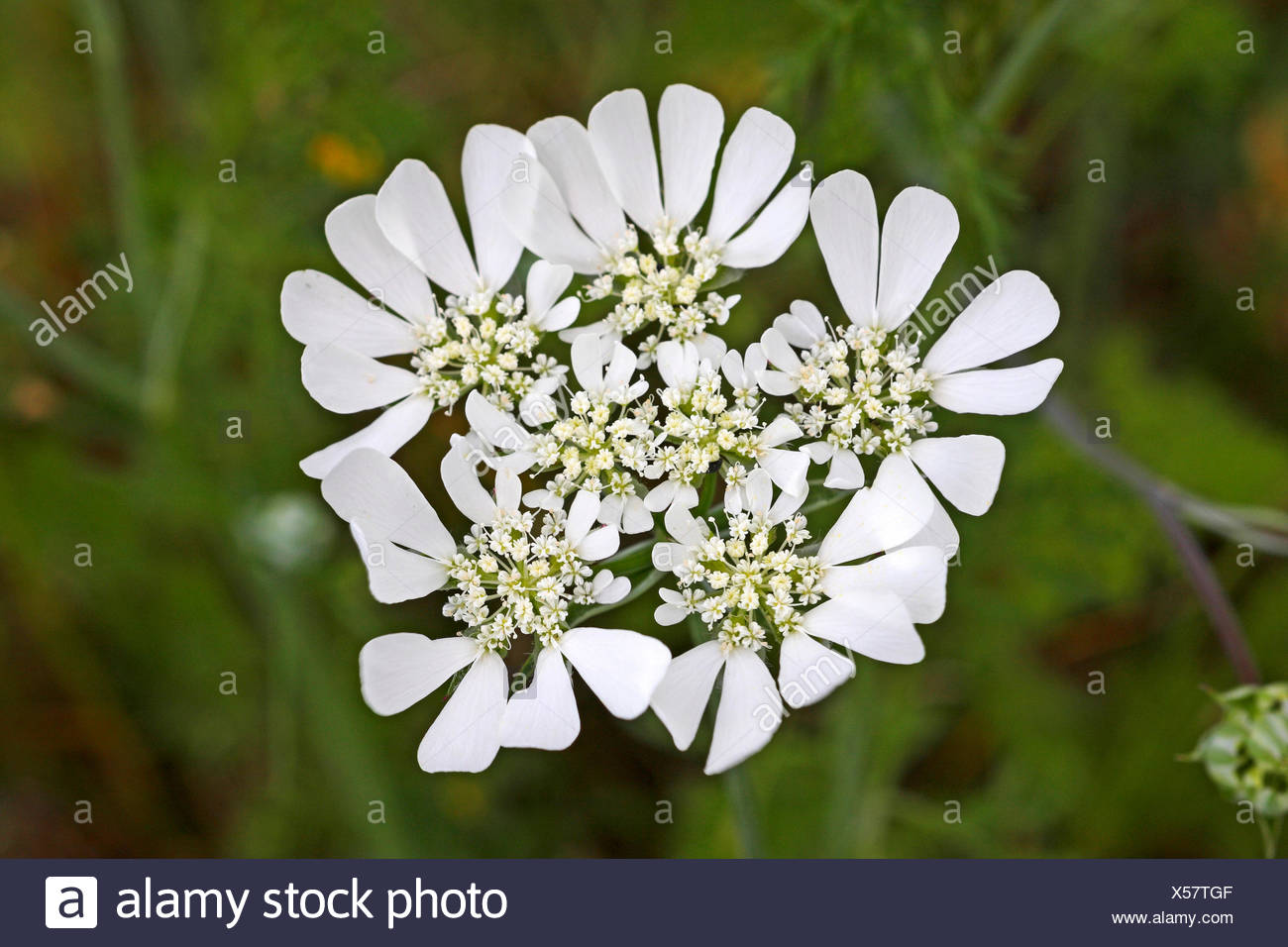 White lace flower, White laceflower, Minoan Lace (Orlaya grandiflora, Caucalis grandiflora), umbel, Germany Stock Photo