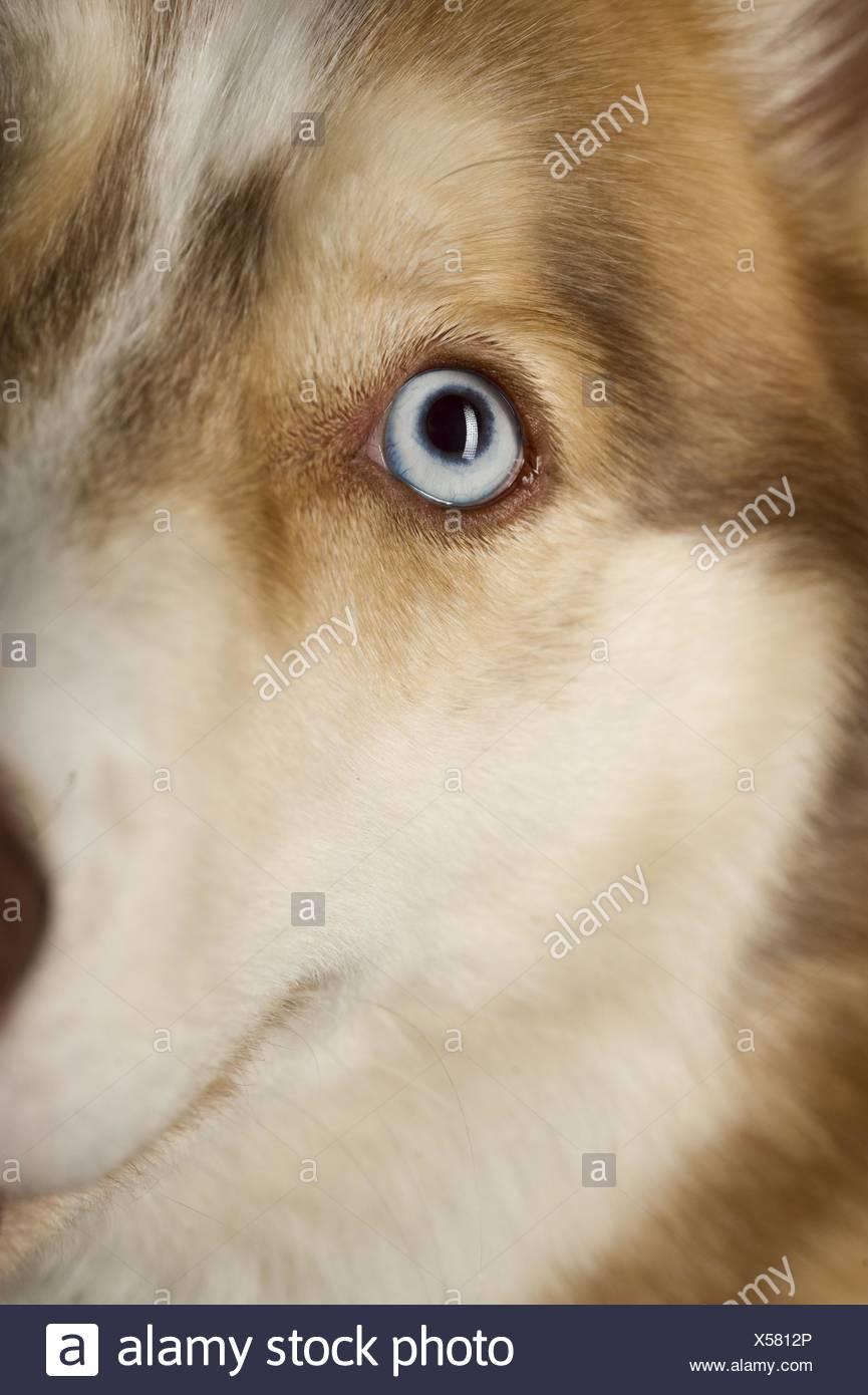 Siberian Husky eye Stock Photo