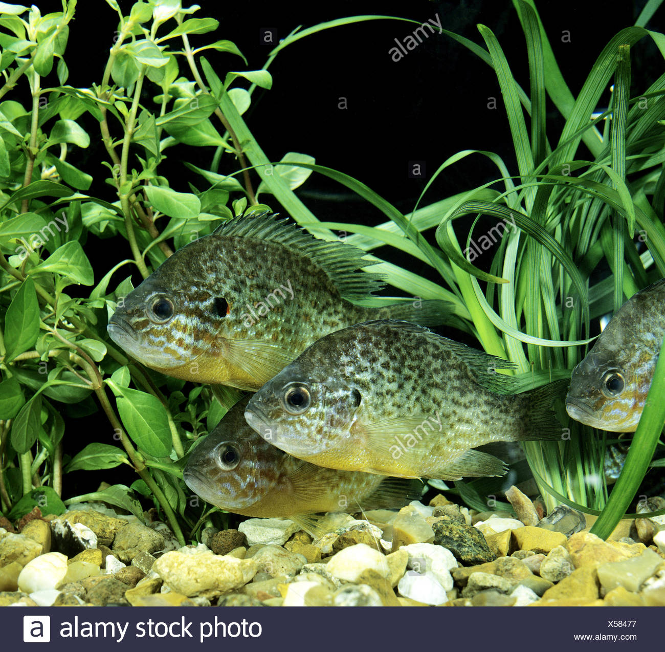 Pumpkinseed Sunfish, lepomis gibbosus Stock Photo