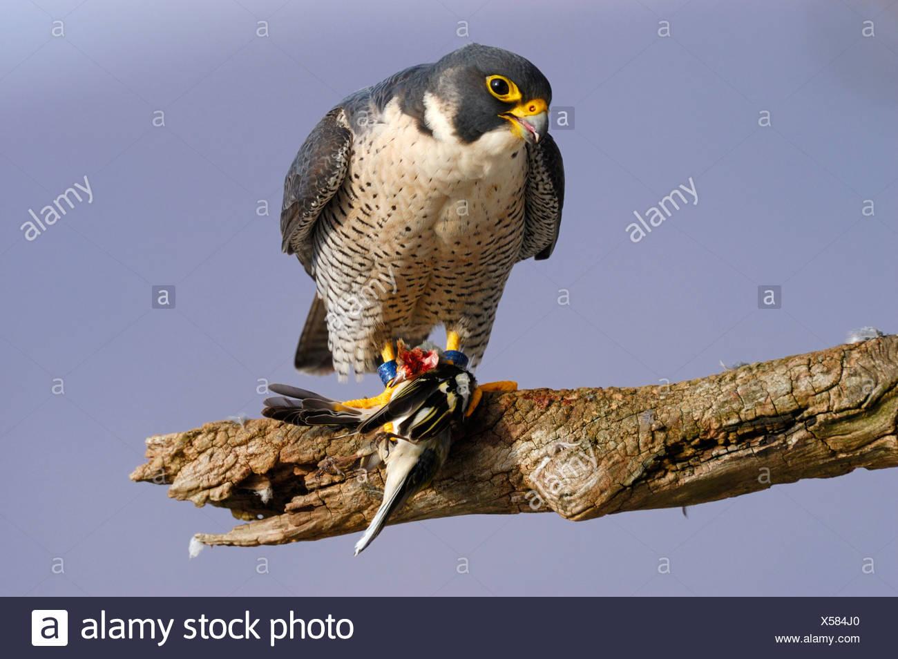 Wanderfalke (Falco peregrinus) mit Beute an seinem Rupfplatz, Buchfink (Fringilla coelebs), Schwaebische Alb Baden Wuerttemberg - Stock Image