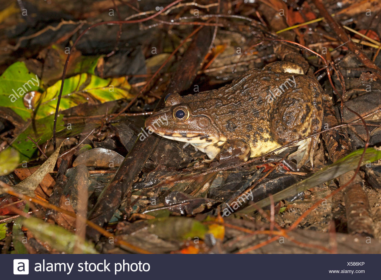 chinese edible frog on the shore of a pond - Stock Image