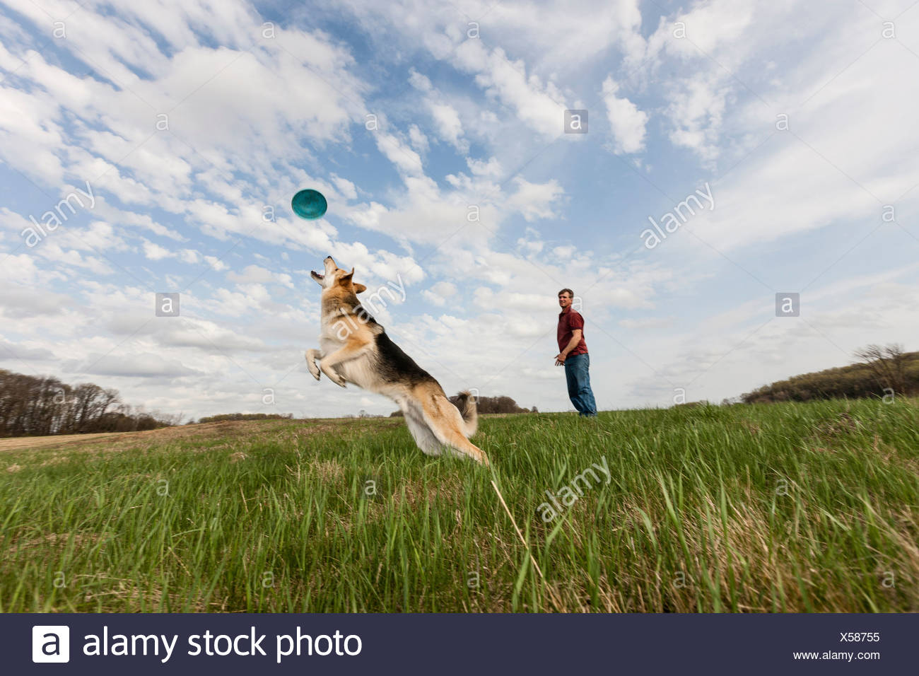 Alsatian dog jumping to catch frisbee - Stock Image