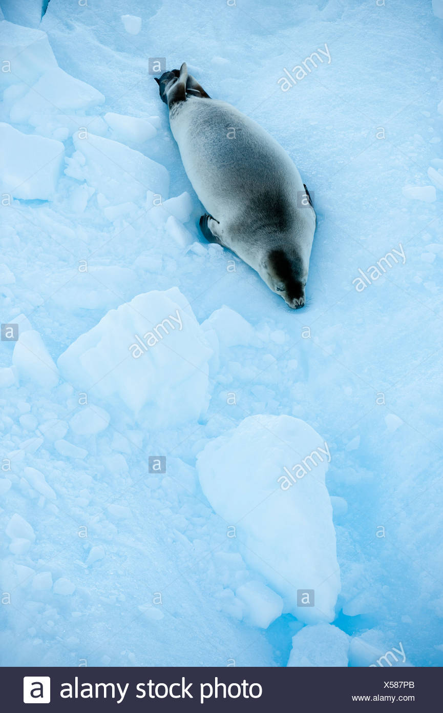 Crab-eater Seal (Lobodon carcinophaga) on ice floe. Vernadsky, Antarctic Peninsula, Antarctica. - Stock Image