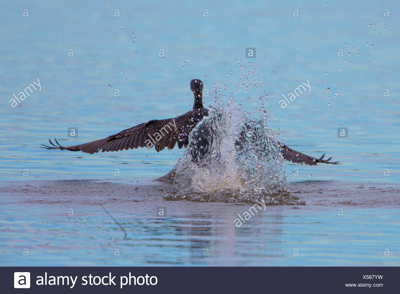 great cormorant (Phalacrocorax carbo), starting from water, Germany, Bavaria, Lake Chiemsee - Stock Image