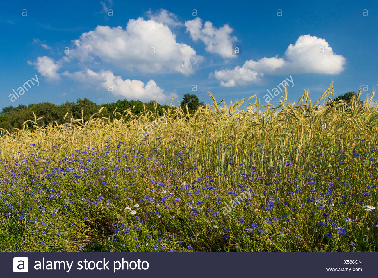 cornflowers at the edge of a grainfield, centaurea cyanus, niedersachsen, germany Stock Photo