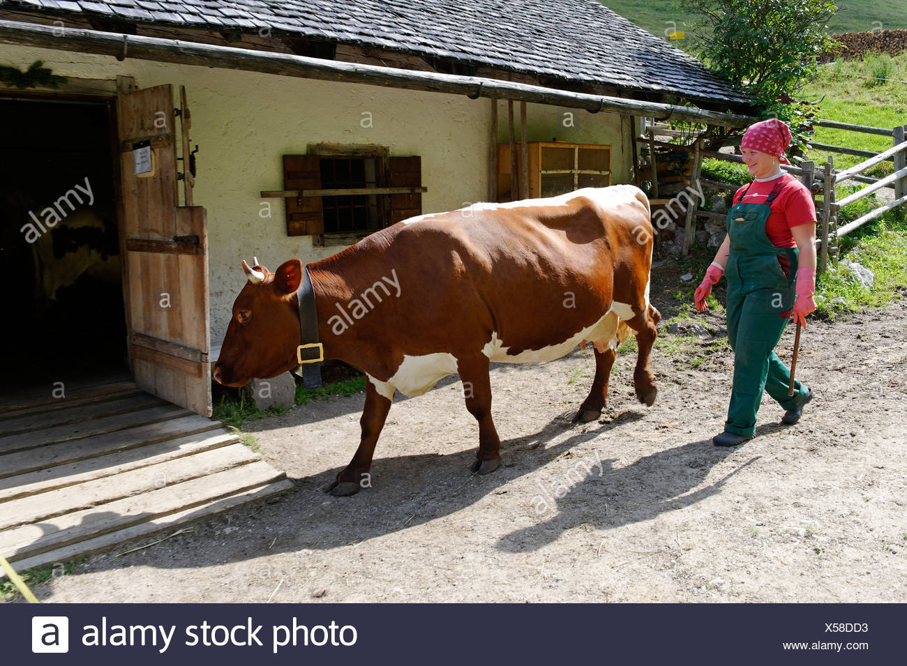 Dairy maid driving cattle to the stable on Halsalm, Berchtesgaden National Park, Hintersee, Berchtesgaden, Upper Bavaria - Stock Image