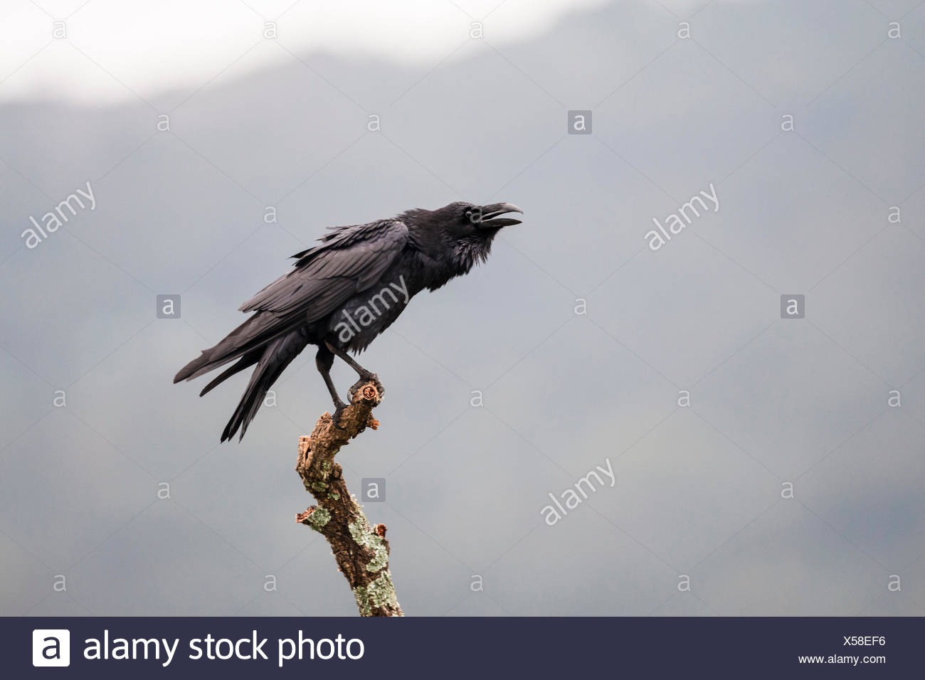 Common Raven (Corvus corax), adult perched on branch calling, Extremadura, Spain - Stock Image