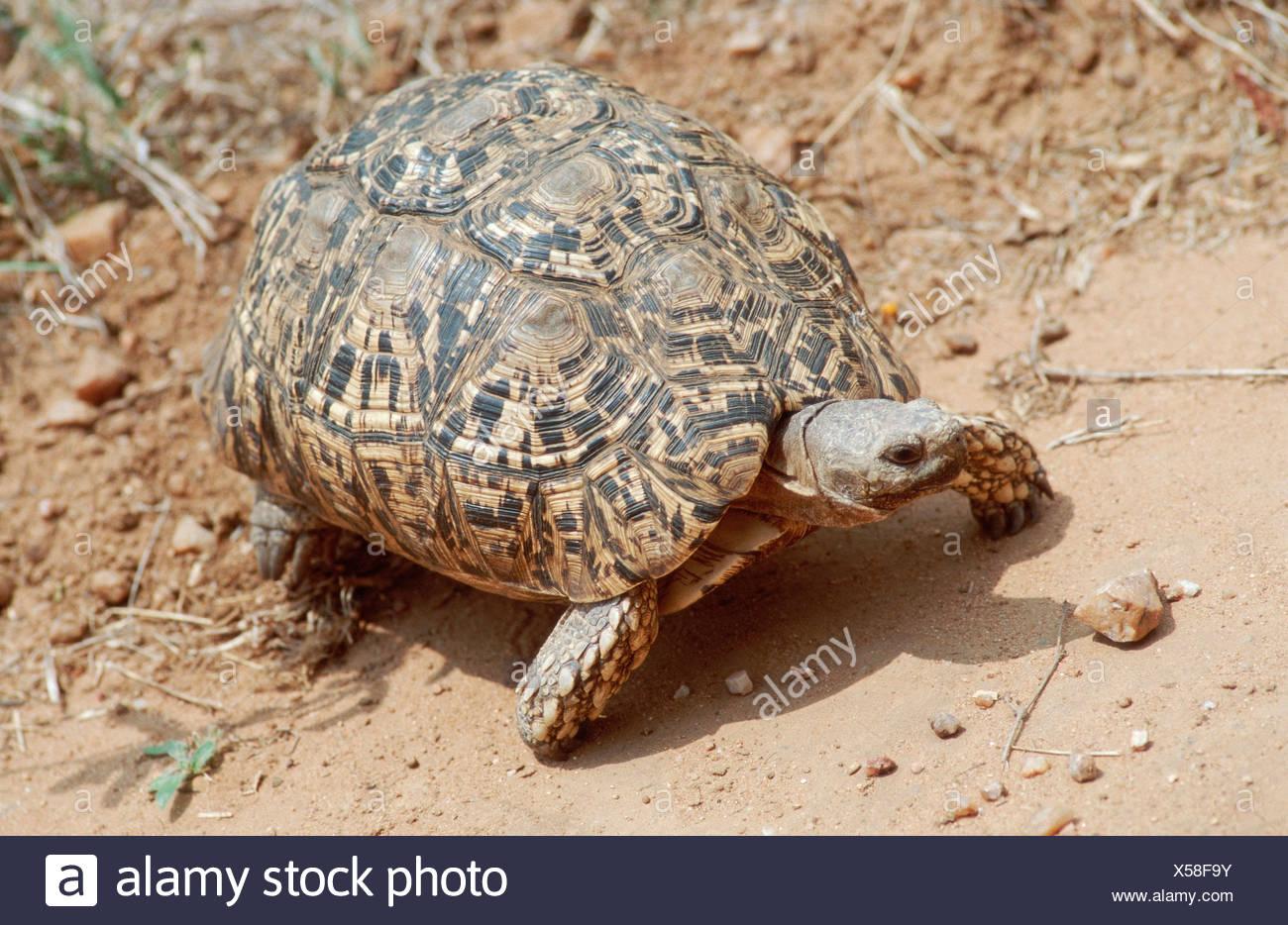 Leopard Tortoise / Leopardenschildkroete / Pantherschildkroete - Stock Image