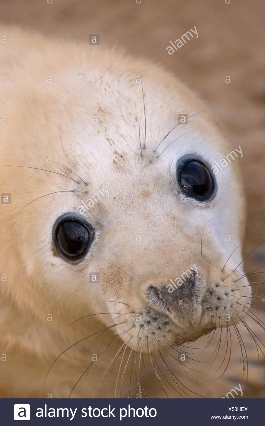 Grey seal (Halichoerus grypus) pup, portrait, UK Stock Photo