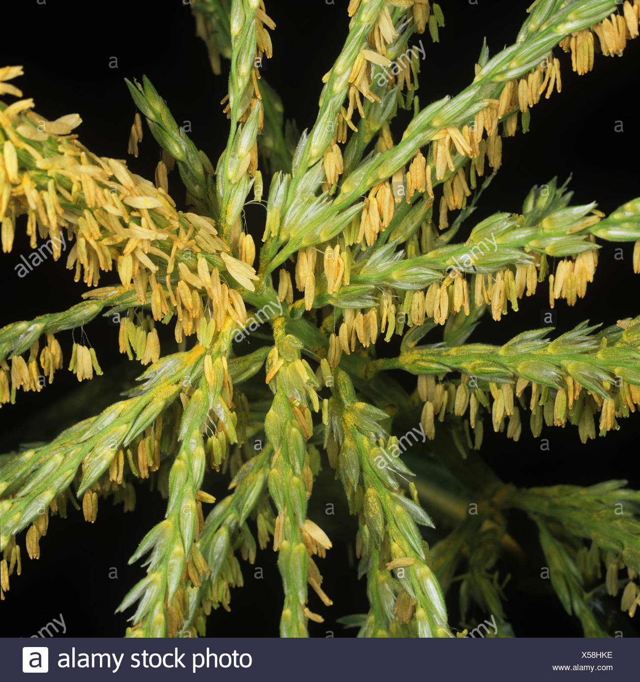 Maize or sweetcorn Zea mays male tassel or inflorescence - Stock Image