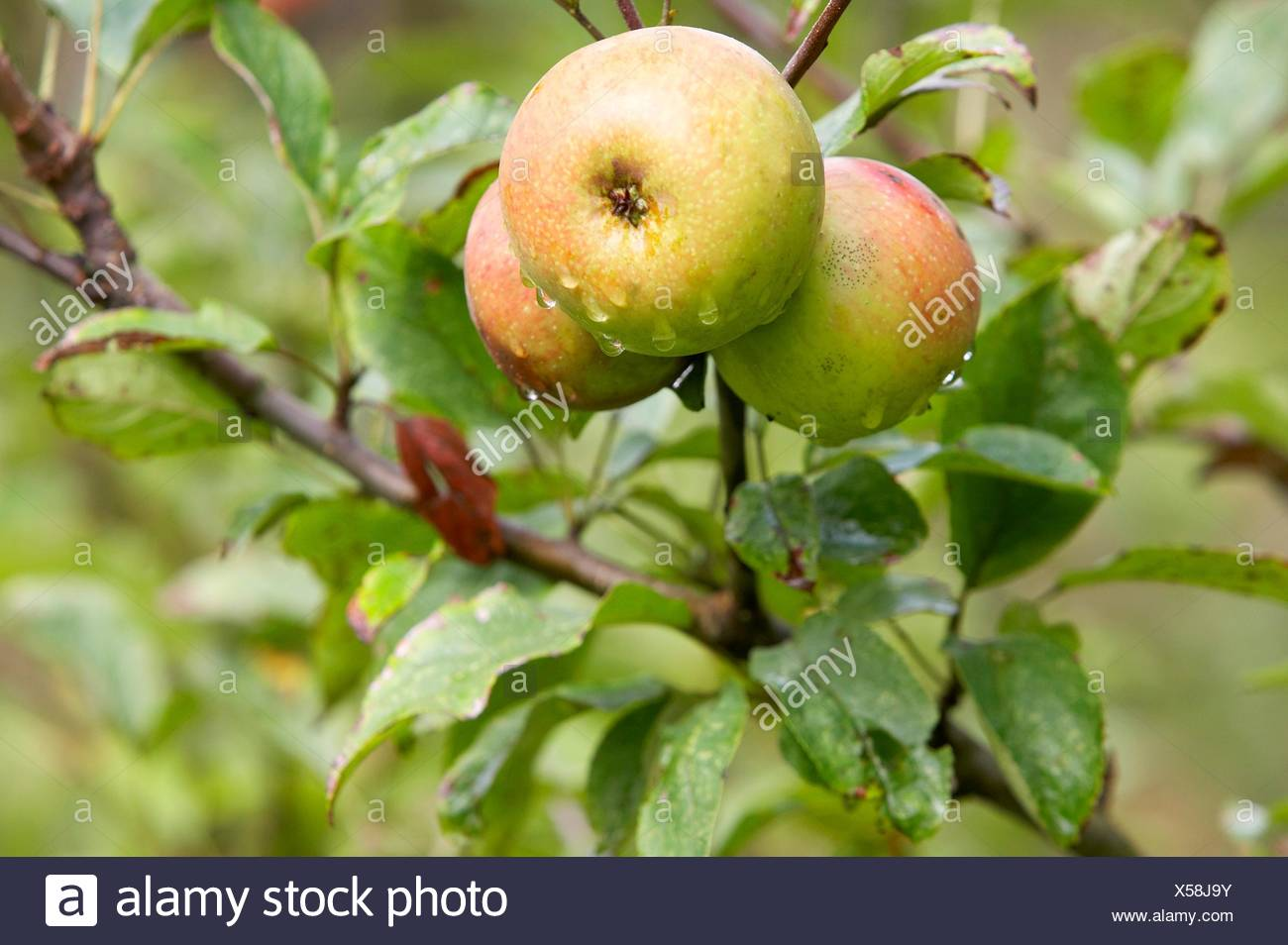 Reineta apples, Basque Country, Spain - Stock Image