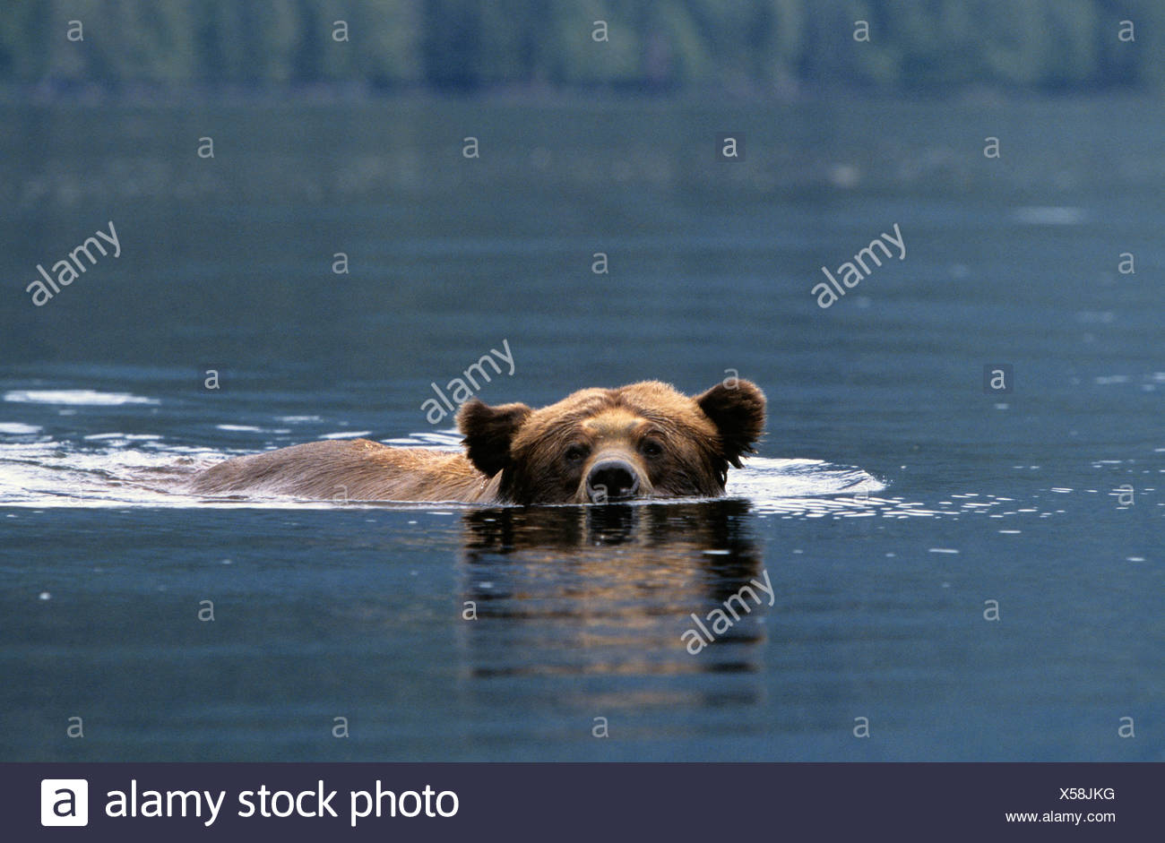 Adult male Grizzly bear (Ursus arctos horribilis) swimming across a saltwater inlet Khutzeymateen Grizzly Bear Sanctuary British - Stock Image