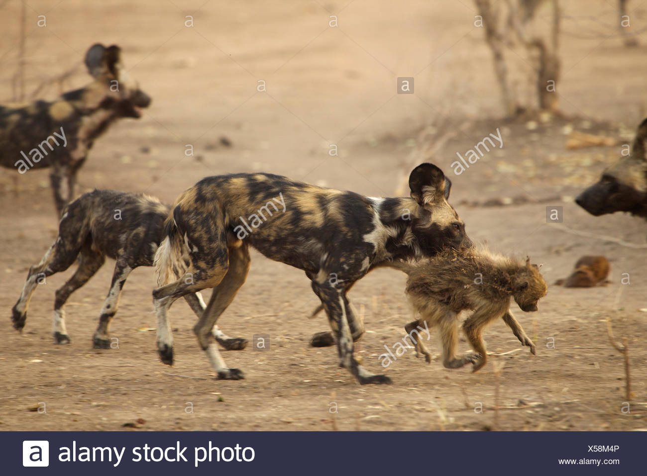 African Wild Dog Carrying A Baboon In Its Mouth Mana Pools Zimbabwe Stock Photo Alamy