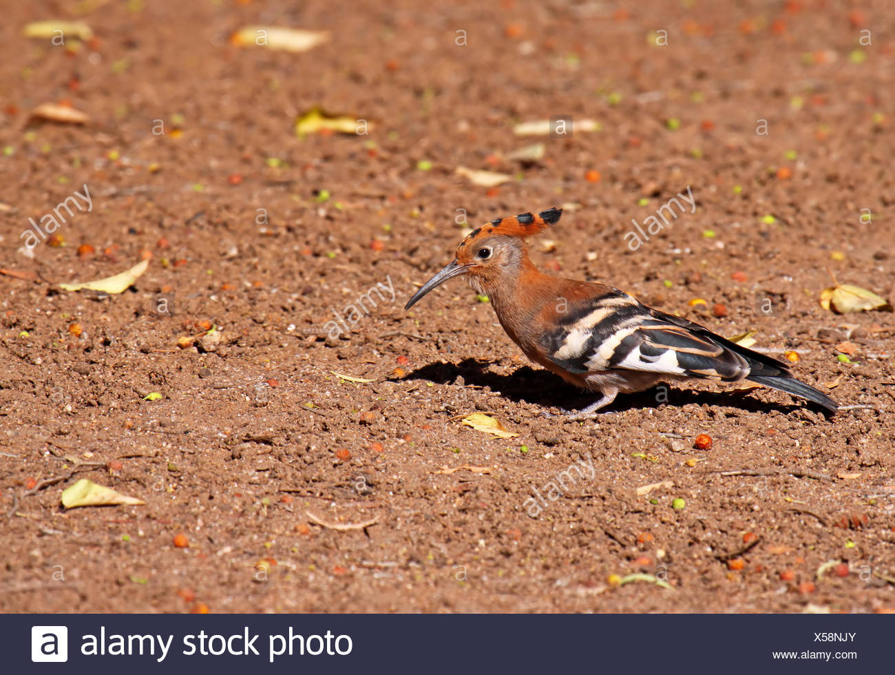 African hoopoe, south africa Stock Photo