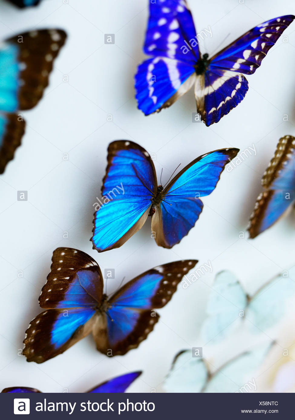 Blue butterfly collection - Stock Image