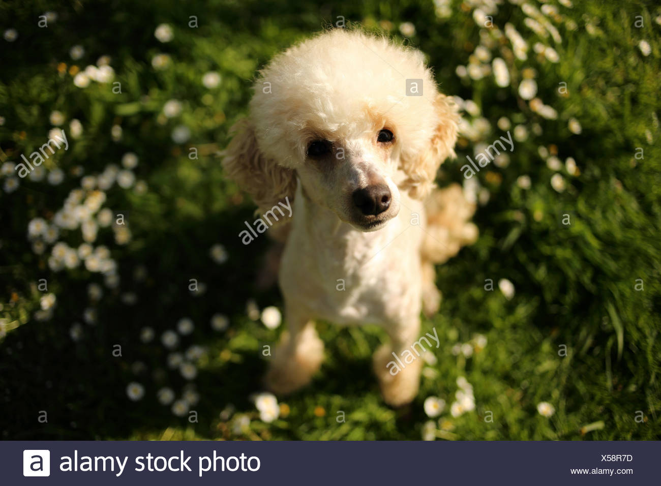Portrait of a poodle dog sitting on grass - Stock Image