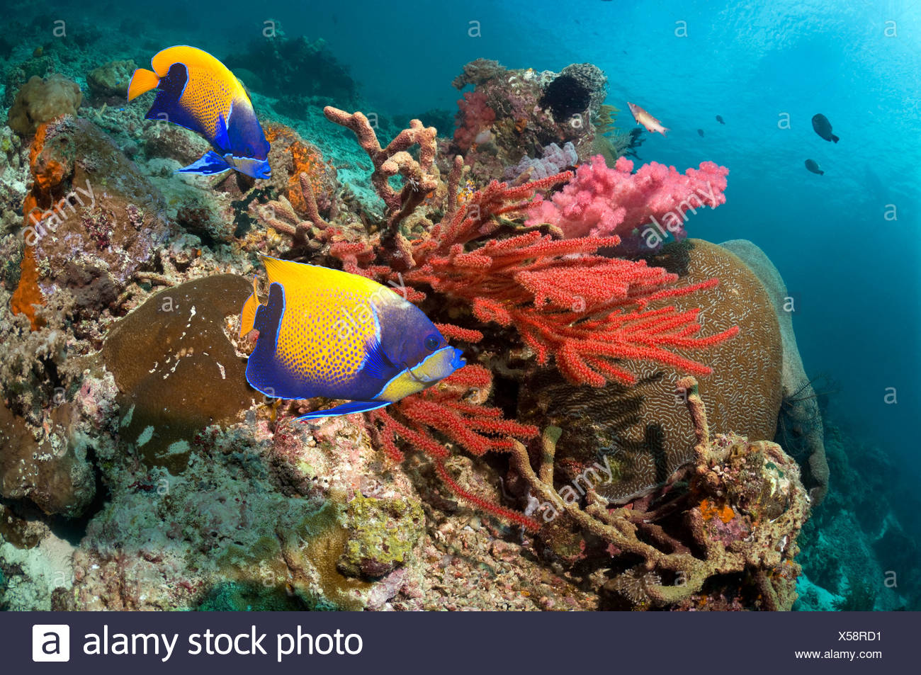 Blue-girdled angelfish swimming past soft coral on reef.  Misool, Raja Ampat, West Papua, Indonesia. Stock Photo