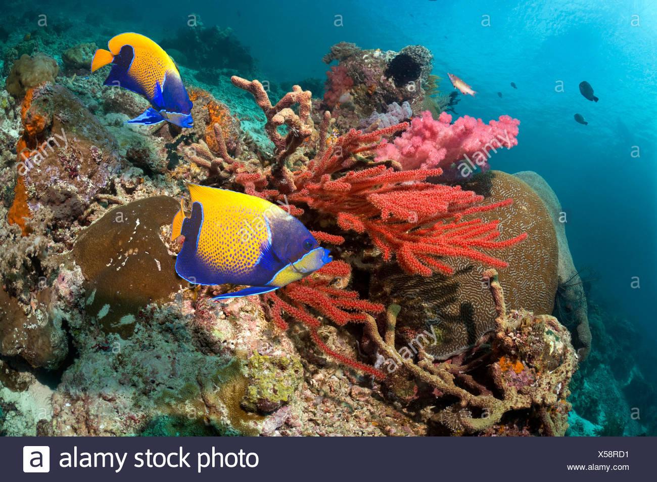 Blue-girdled angelfish swimming past soft coral on reef.  Misool, Raja Ampat, West Papua, Indonesia. - Stock Image